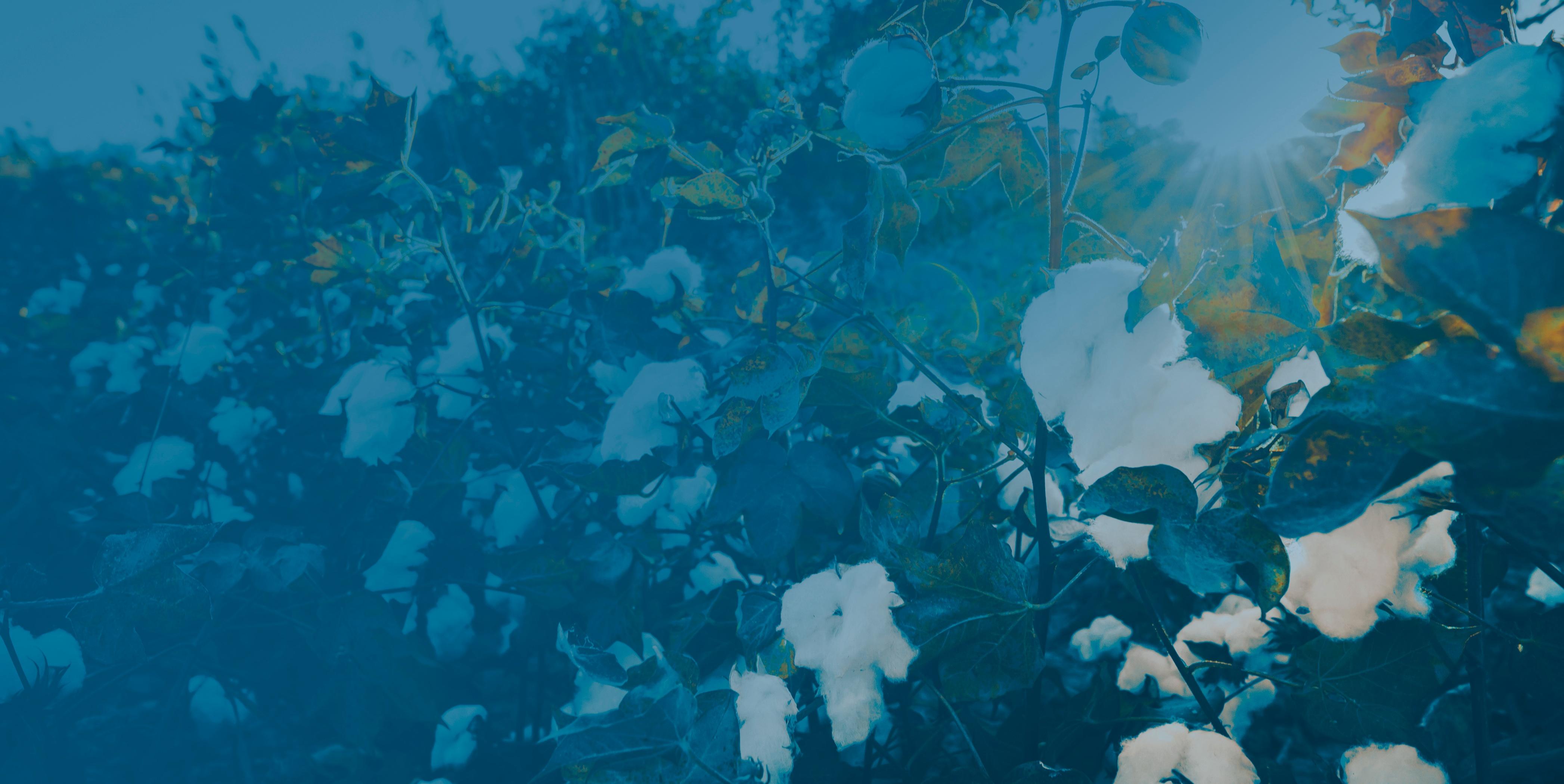 CottonTreated-V2-1