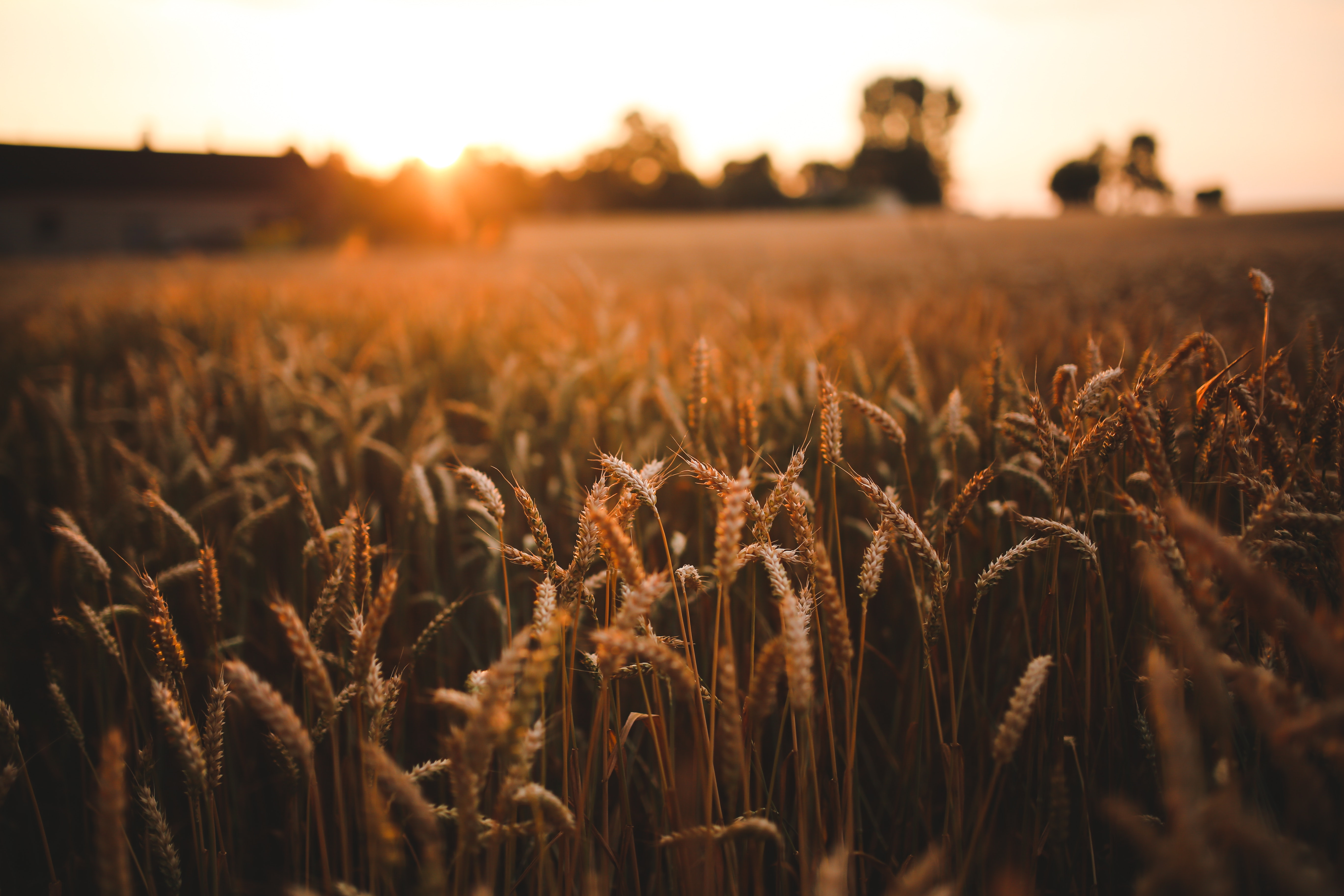 agriculture-field-grain-5980-1